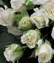 Alabaster Garden Rose, SA