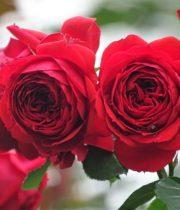 Rose Garden Spray, Francois Rabelais-CA