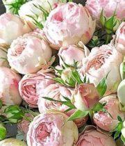Blush Mansfield Park Garden Spray Roses
