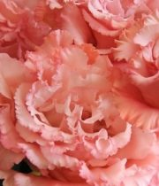 Lisianthus, Ruffle-peach