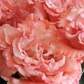 wholesale flowers   lisianthus-ruffle peach