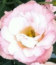 Lisianthus-white/pink
