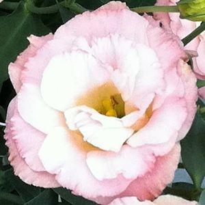 wholesale flowers   lisianthus-pink white