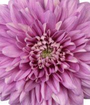 Mum, Disbud Cremone-lavender