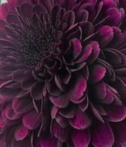 Mum, Disbud Cremone-purple