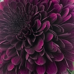 wholesale flowers | mums- cremone purple