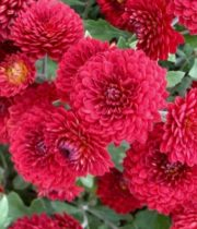 Mums, Spray-Button-red