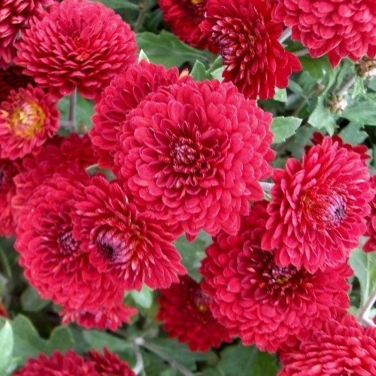 wholesale flowers | spray mums- button red