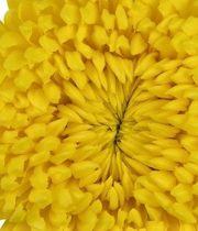 Mum, Disbud Cremone-yellow