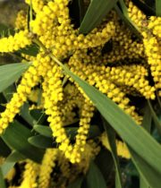 Acacia, Finger-yellow