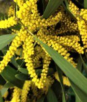 Acacia, Finger-yellow