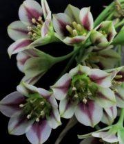 Allium, Siculum-purple