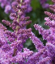 Astilbe-purple