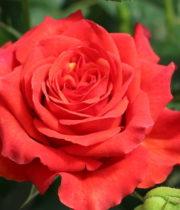 Rose, Alhambra-CA