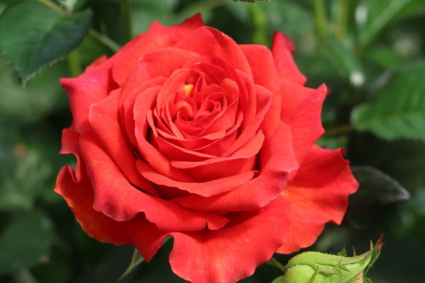 Alhambra Rose