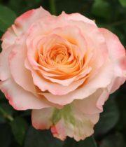 Rose Garden, Allyson-CA