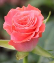 Rose, Amsterdam-CA