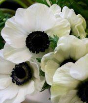 Anemones-white (dark Centers)