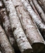 Birch Poles, Large