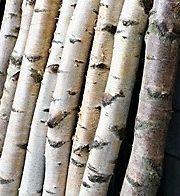 Birch Poles, Medium
