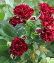 Rose Garden Spray, Butterfly Sensation-CA