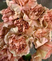Carnations, Specialty-Caramel-beige