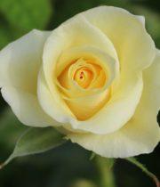 Rose, Citronella-CA