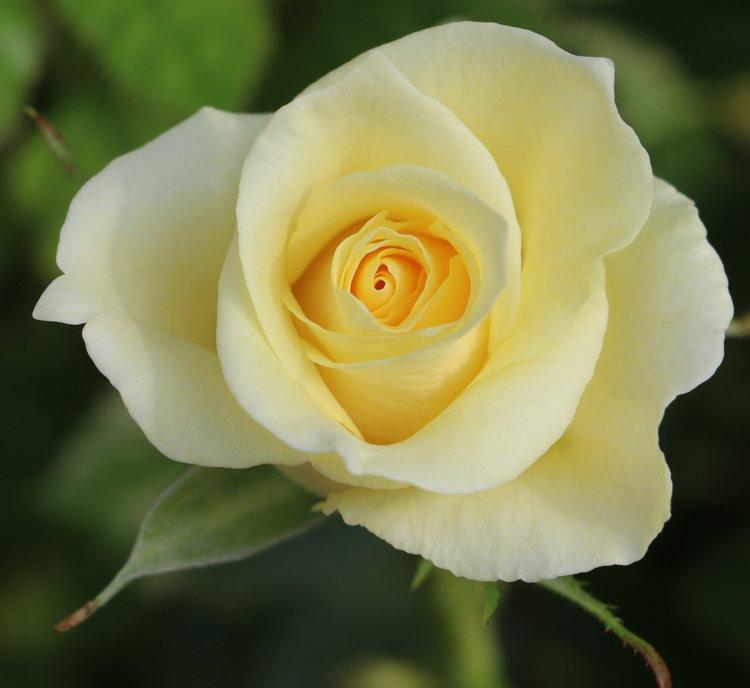Citronella Rose
