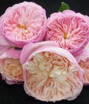 Rose Garden, Constance-SA