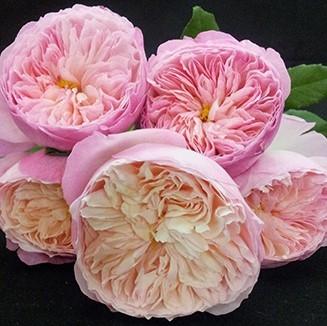 wholesale flowers | garden rose constance