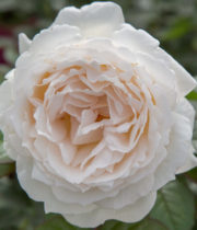 Rose Garden, Cream Piaget-CA