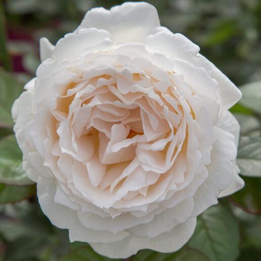 Cream Piaget Rose