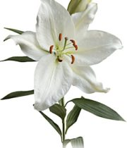 Lily Oriental, Crystal Blanca-white