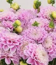 Dahlias, Field-pink/white