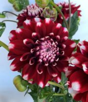 Dahlias, Field-red/white