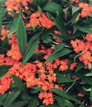 Euphorbia, Fulgens-orange