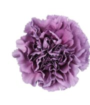 Carnations, Specialty-Extasis Blue-dusty Purple