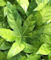 Fatsia Leaves-variegated