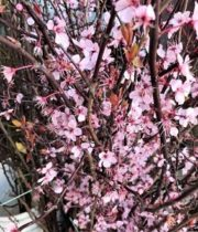 Branch, Flowering Cherry-pink