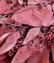 Eucalyptus, Seeded-tinted Burgundy