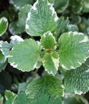 Mint-variegated, Herb