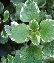 Mint-variegated, Herb
