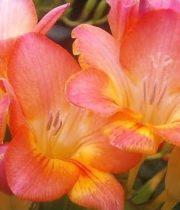 Freesia-coral/peach