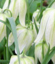 Fritillaria, Alba-white
