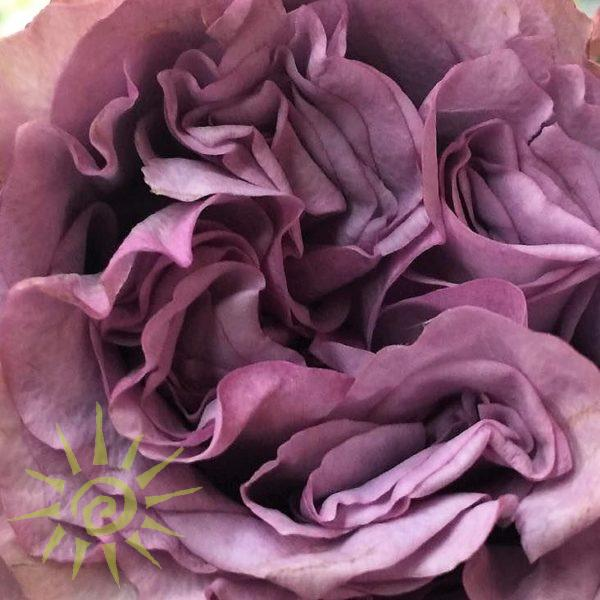 wholesale flowers | garden rose dolcetto