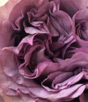 Rose Garden, Dolcetto-CA