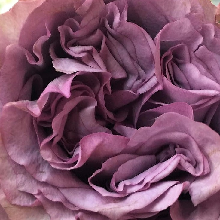 wholesale flowers   garden rose dolcetto