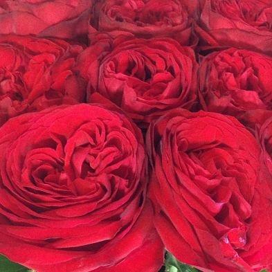 wholesale flowers   garden rose matador