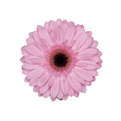 wholesale gerbera_daisy -blush-pink