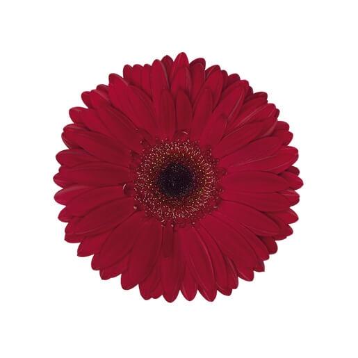 BURGUNDY-wholesale gerbera_daisy